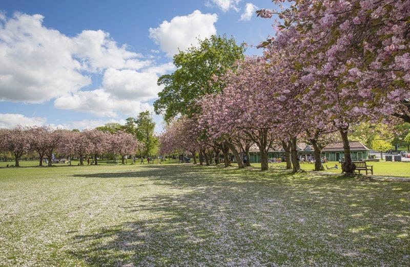 Cherry Blossom in The Meadows, Edinburgh
