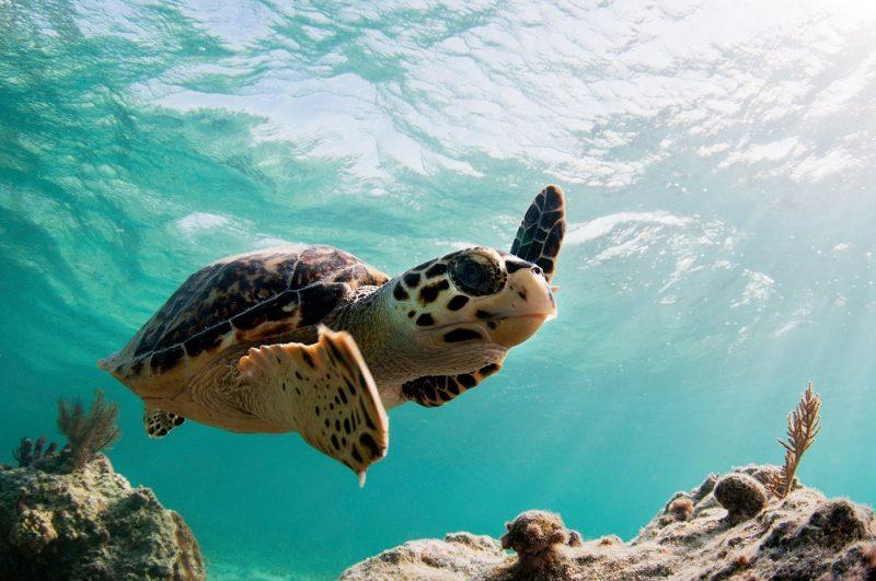Sea turtle in St Lucia