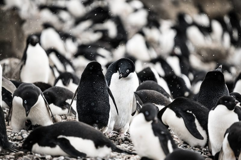 A group of Adélie Penguins