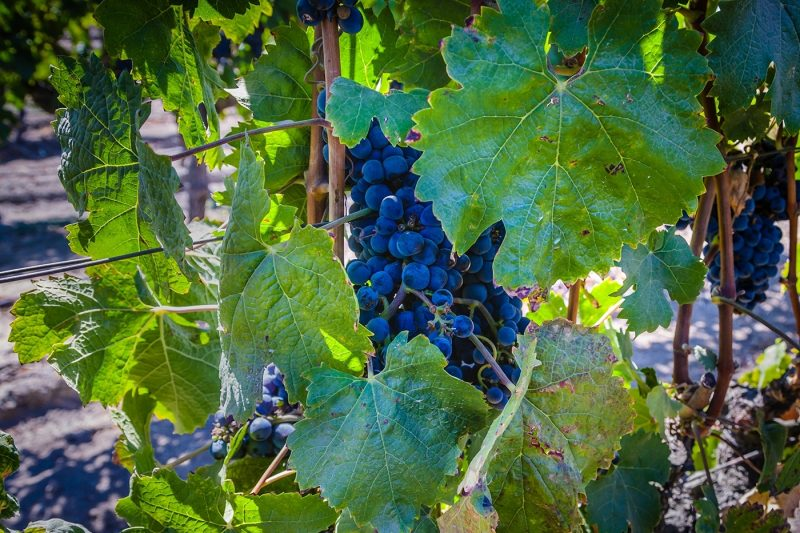 Wine grapes in Chile