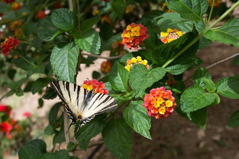 Butterly in the Botanical Park amongst purple flowers