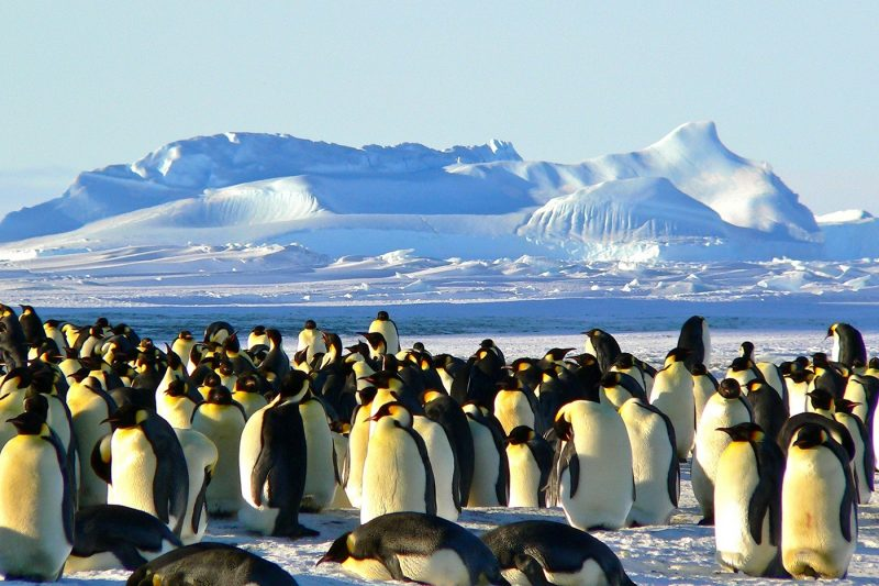 A crowd of emperor penguins
