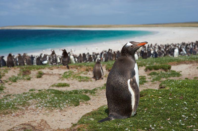 Gentoo Penguin On Bleaker Island In The Falkland Islands
