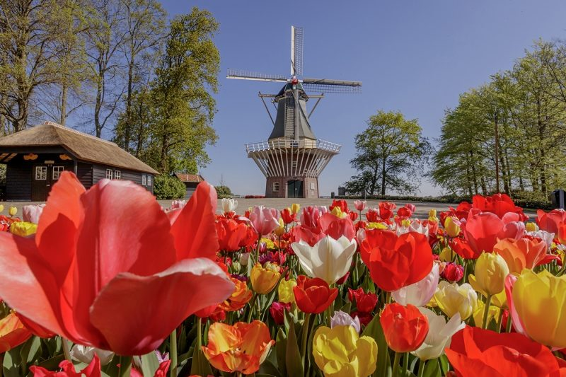 Red, yellow and white flowers in a field with a windmill
