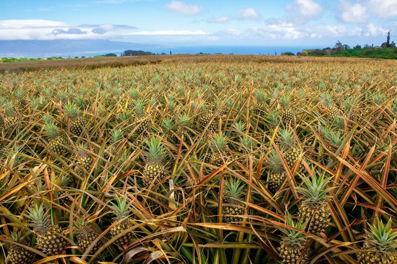 Pineapple field in Hawaii