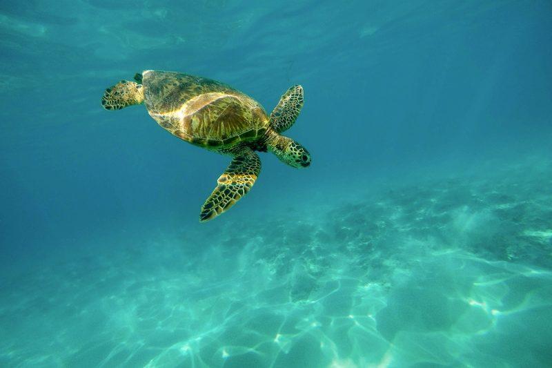 Turtle in the sea in Hawaii