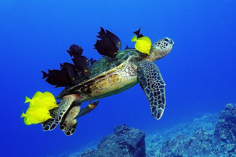 Turtle with fish on it's back