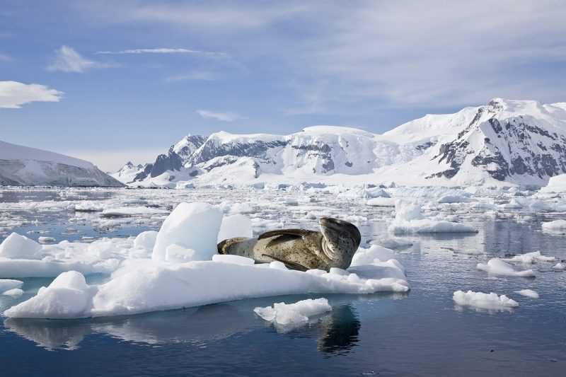 A leopard seal lying on some ice