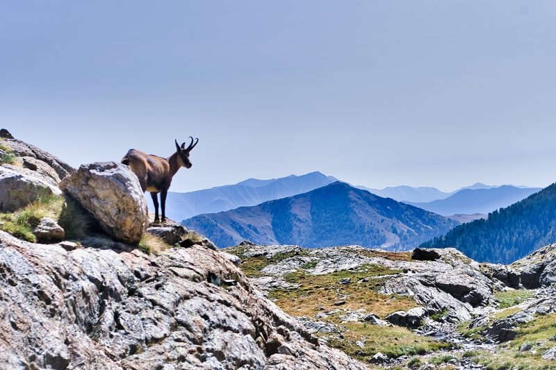 Ibex/Chamois in the national park