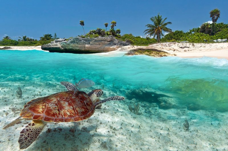 A turtle swimming towards the beach in Mexico