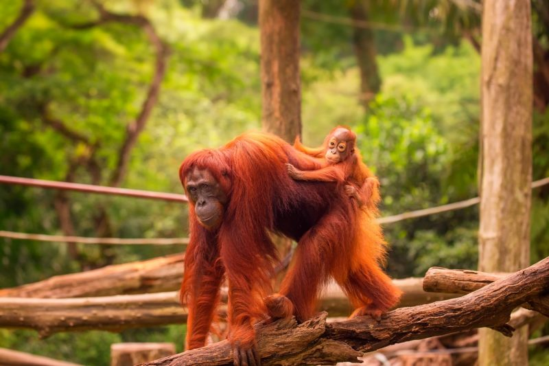 An Orangutan with its baby at Singapore zoo
