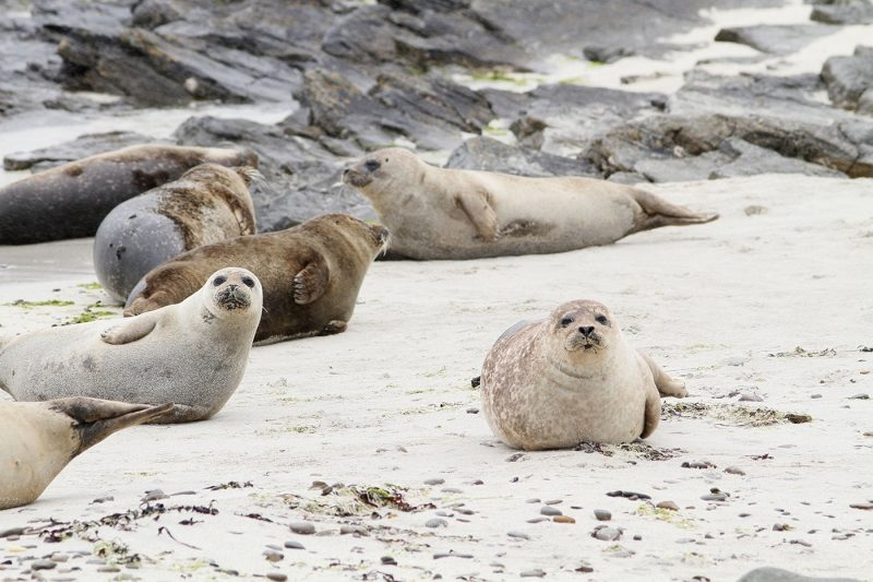 Five seals playing on a beach in Orkney