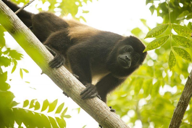 Howler monkey in tree in Panama