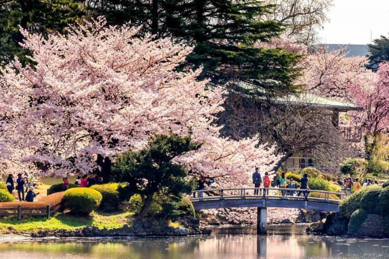 Pink cherry blossom and people standing on a Japanese style bridge in Shinjuku Gyoen National Garden Tokyo