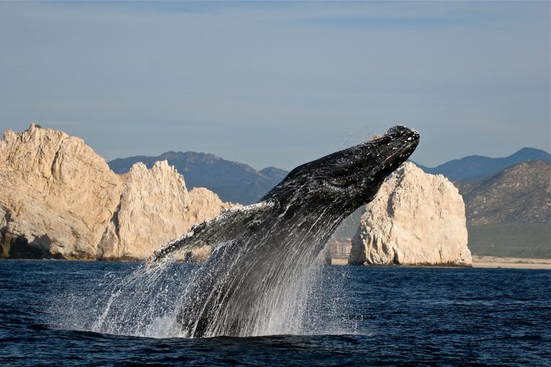 Whale breaching in Cabo San Lucas