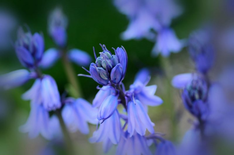 Close up of bluebells in Brooklyn Botanical Garden New York