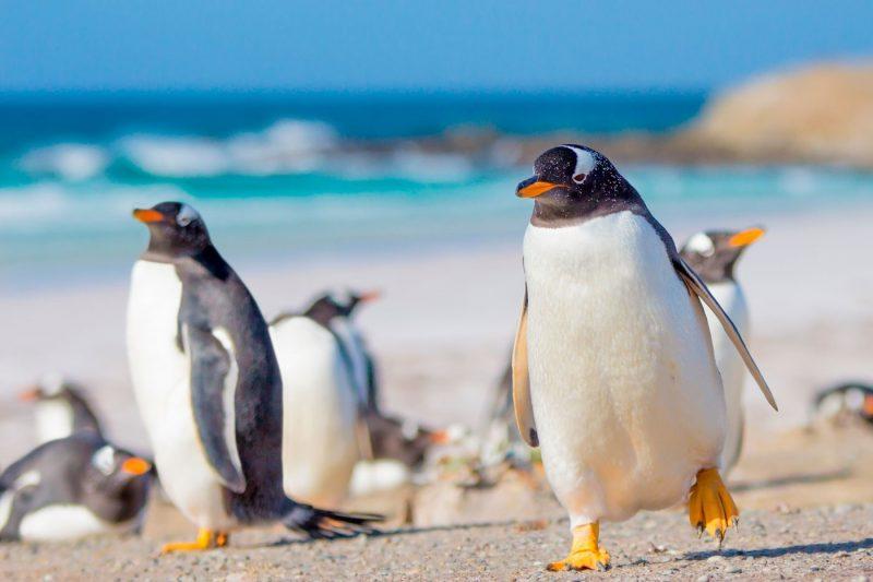 Gentoo penguins on the Falkland Islands