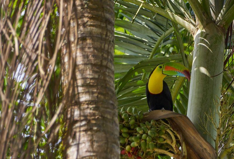 Toucan sat on branch in Soberania National Park