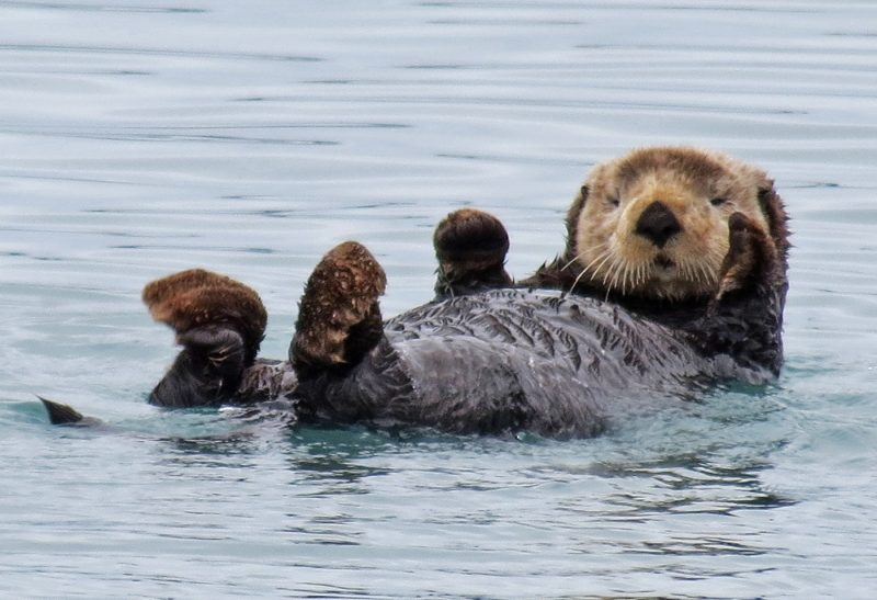 An Alaskan Sea Otter floats on its back in a Fiord