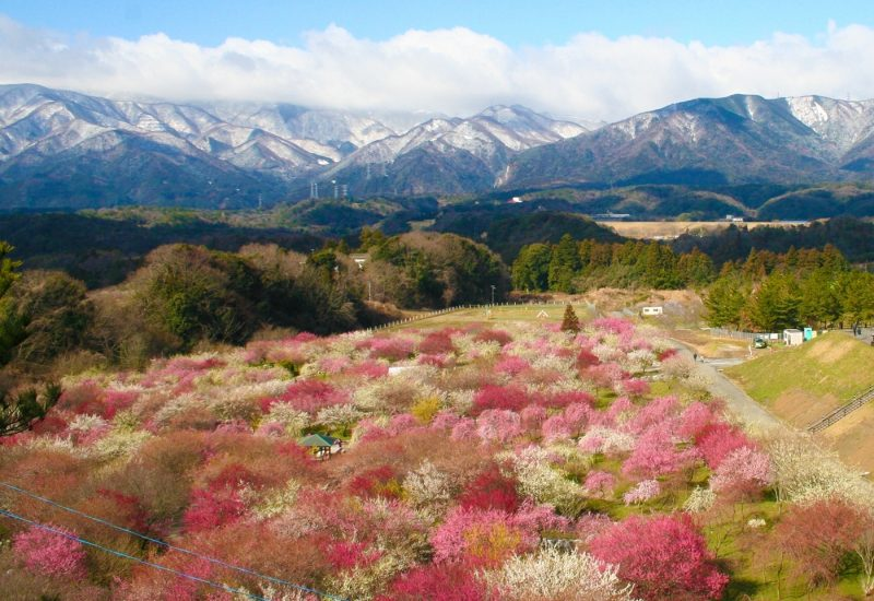 Plum tree blossoms in Inabe with mountains in backgorund