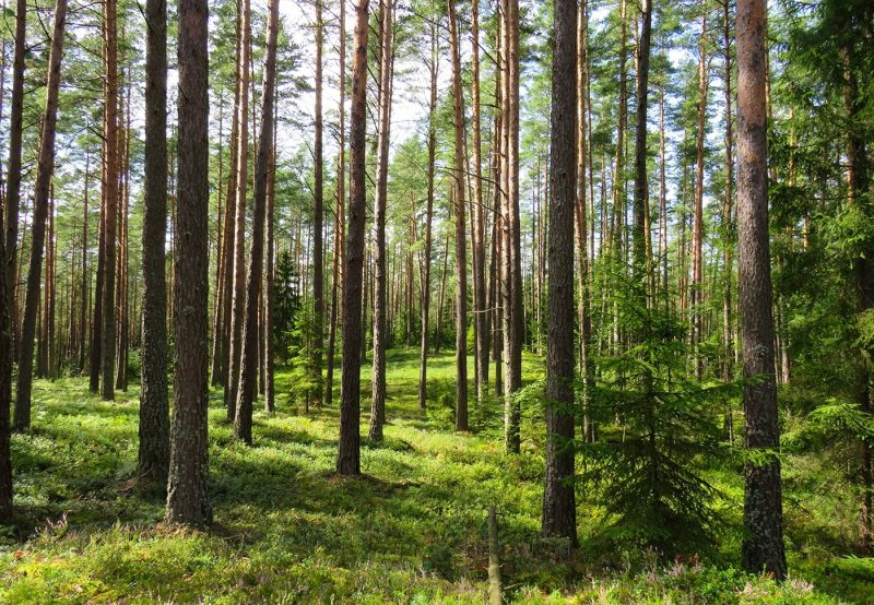 A forest in Scandinavia