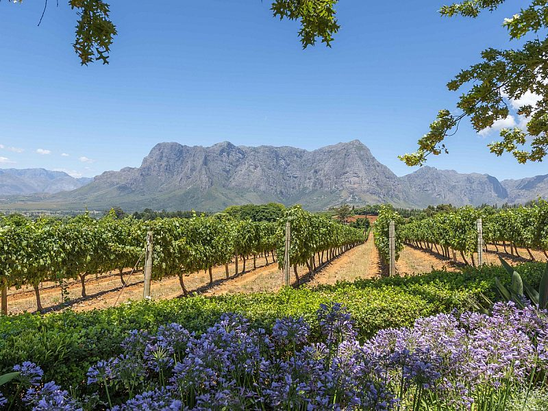 Cape Town South Africa vineyard