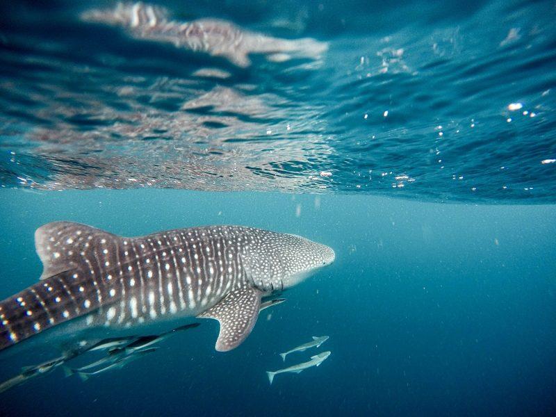Whale shark in La Paz