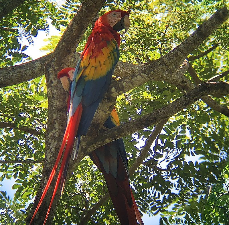 Parrots in Puntarenas, Costa Rica