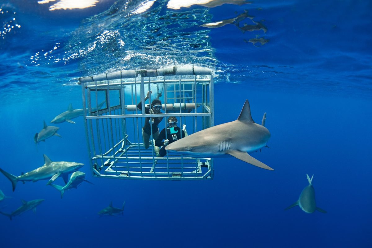 Swimming with sharks in Hawaii