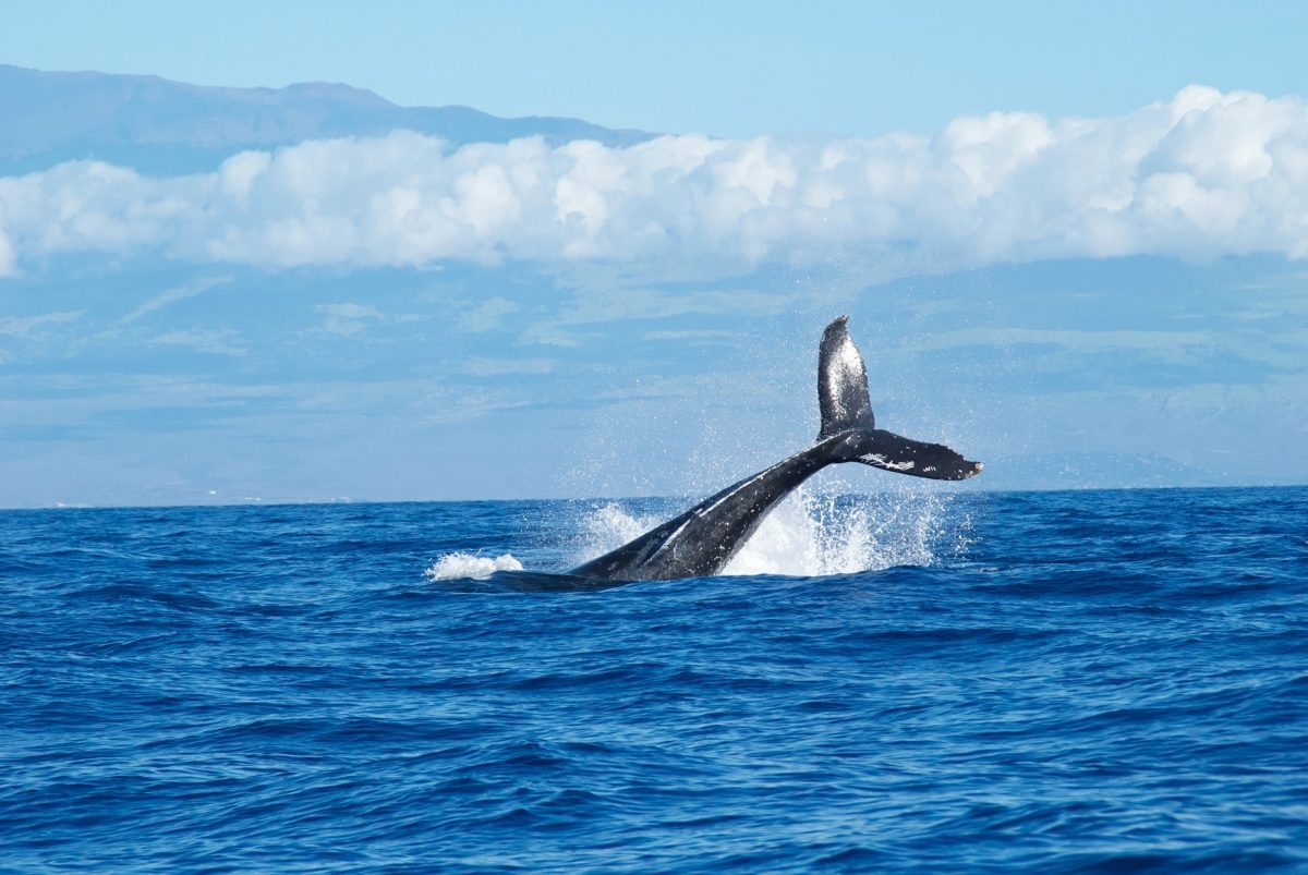 Whale breaching in Maui