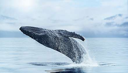 Whale breaching in Alaska