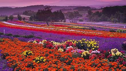 Hokkaido floral field