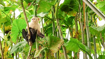 Monkey sat in branches of rainforest in Panama