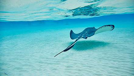 Stingray in Cayman